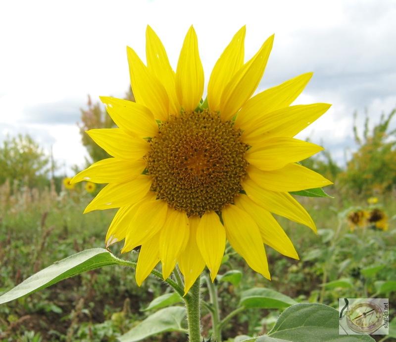 И растут они словно солнышки под солнцем!